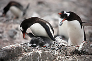 Neko Harbor, Antarctic Peninsula, Antarctica - A gentoo penguin keeps its two chicks warm sitting on top of them in their nest which is mostly made of stones, at Neko Harbor. A gentoo penguin in the background is walking off with a rock stolen from a nest. It requires less energy to steal a rock than it does to go and find one. The rocks are used to elevate the eggs off the surface to keep them away from melting snow that might pool.<br />  &copy;Ann Inger Johansson/zReportage/Exclusivexpix media