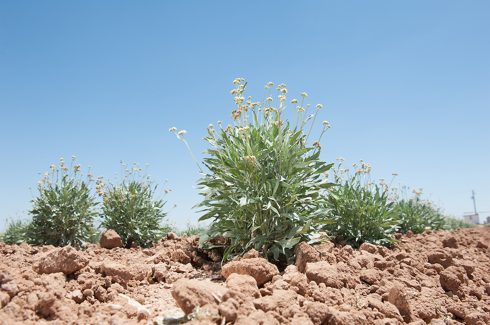 Guayule, rubber plant in the field ,  Maricopa  Arizona