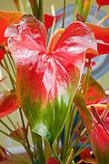 Anthurium, Waianuhea, Bed & Breakfast, Hamakua Coast, Island of Hawaii