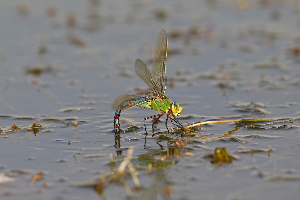 Emperor Dragonfly - Anax imperator - female egg laying