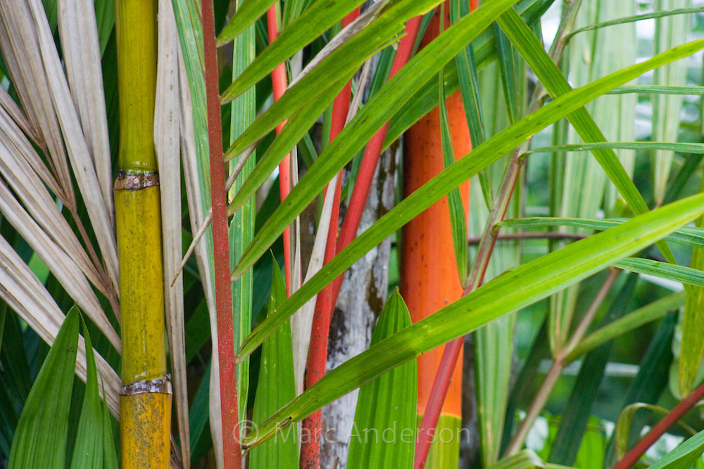 Red stems and green leaves of the Red Sealing Wax Palms (Cyrtostachys renda), Sabah, Malaysia..