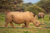 White Rhino cow with a deformed downward growing horn, Marataba Private Game Reserve, Limpopo, South Africa