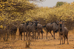 A herd of wildebeest amongst blooming yellow flowers near the Waterburg Plateau in Namibia