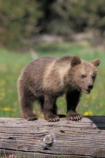 Grizzly Bear, (Ursus horribilis) Montana. Spring cub.   Captive Animal.