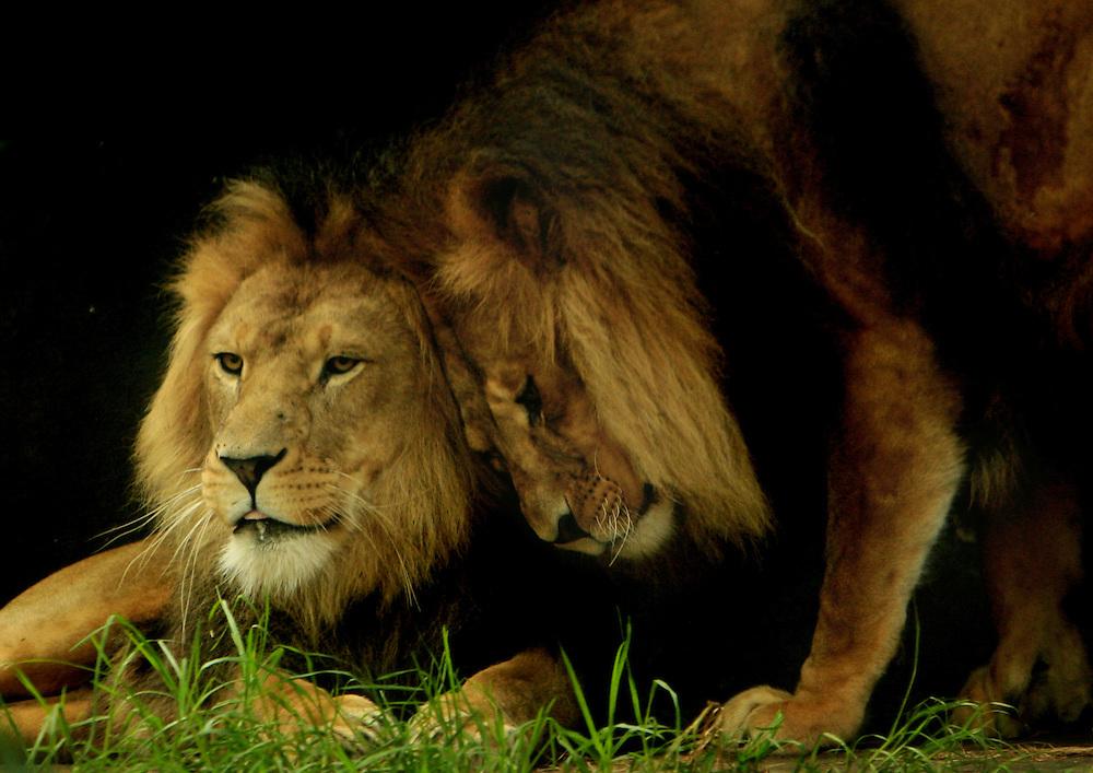 Two  lions rub heads. (captive)
