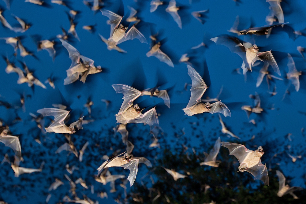 Mexican free-tailed bats emerge from the Eckert James River Bat Cave Preserve bat cave.  Each evening bats emerge from and fly as high as 10,000 feet to meet swarms of moths that travel on upper winds. Each bat will consume about one half to three-fourths of it's body weight before morning.
