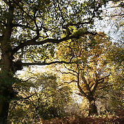 Oak trees. Wytham woods.