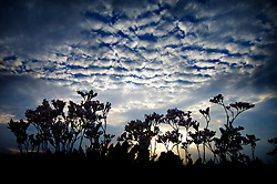 Sea lavender, Thornham, North Norfolk Coast, England, UK.