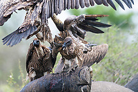 White-backed Vultures feeding on a poached White Rhino, Hluhluwe-iMfolozi Game Reserve, KwaZulu Natal, South Africa
