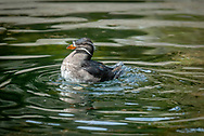 The rhinoceros auklet (Cerorhinca monocerata) is a seabird and a close relative of the puffins. It is the only extant species of the genus Cerorhinca. Given its close relationship with the puffins, the common name rhinoceros puffin has been proposed for the species