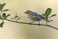 Yellow-rumped Warbler - Setophaga coronata (Audubon's) - Adult male non-breeding