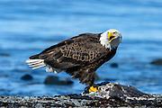 wildlife birding photographs Homer, AK