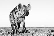 T&uuml;pfel-Hy&auml;nen (Crocuta crocuta) aus dem Liuwa Plain Nationalpark im Westen von Sambia nahe Angola n&ouml;rdlich von Kalabo. Subadulte Hy&auml;ne am Morgen aus der Froschperspektive an einem wolkenlosen, blauen Tag.<br /> <br /> Die T&uuml;pfelhy&auml;ne oder Fleckenhy&auml;ne (Crocuta crocuta) ist eine Raubtierart aus der Familie der Hy&auml;nen (Hyaenidae). Sie ist die gr&ouml;&szlig;te Hy&auml;nenart und durch ihr namensgebendes geflecktes Fell gekennzeichnet; ein weiteres Charakteristikum ist die &bdquo;Verm&auml;nnlichung&ldquo; des Genitaltraktes der Weibchen. Die Art bewohnt weite Teile Afrikas und ern&auml;hrt sich vorwiegend von gr&ouml;&szlig;eren, selbst gerissenen Wirbeltieren. T&uuml;pfelhy&auml;nen leben in Gruppen mit einer komplexen Sozialstruktur, die bis zu 80 Tiere umfassen k&ouml;nnen und von Weibchen dominiert werden. Die Jungtiere, die zwar bei der Geburt schon weit entwickelt sind, aber dennoch &uuml;ber ein Jahr lang ges&auml;ugt werden, werden in Gemeinschaftsbauen gro&szlig;gezogen.