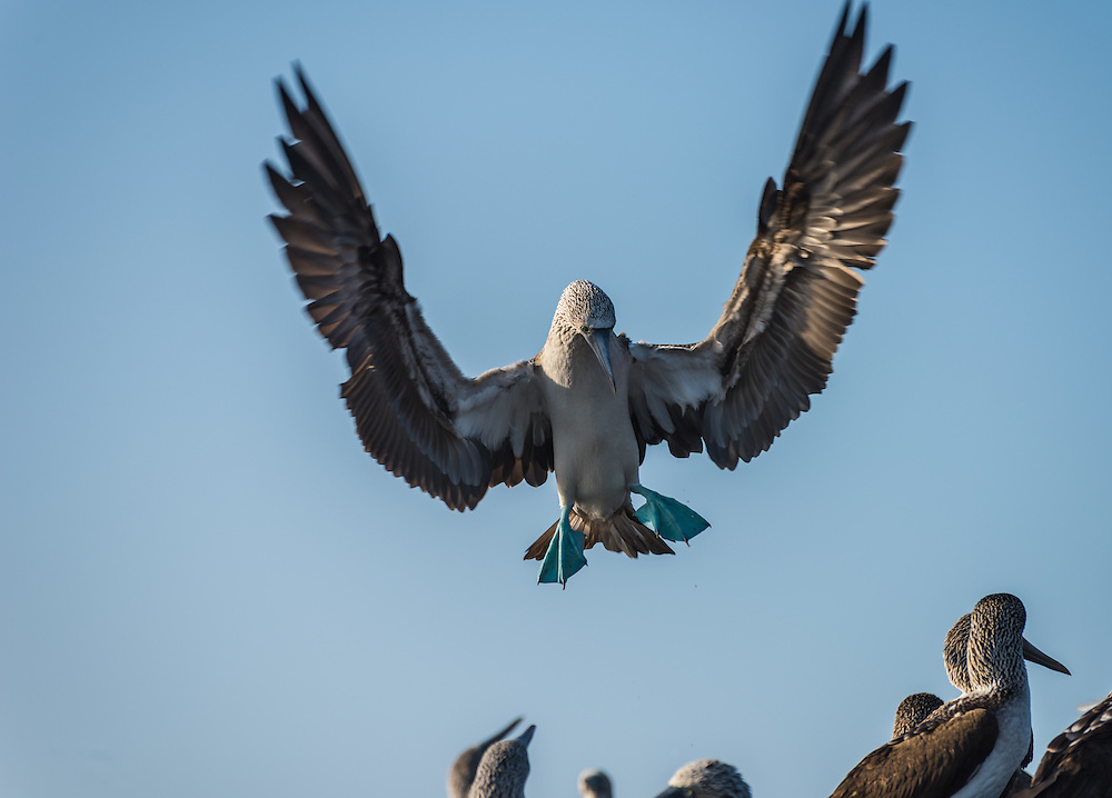 Blue footed booby in flight, Isla Isabela, Galapagos, Ecuador.