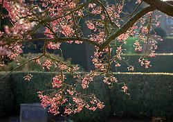 Berries of Sorbus vilmorinii - Rowan - in late autumn