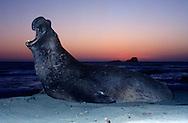 USA, Vereinigte Staaten Von Amerika: Nördlicher See-Elefant (Mirounga angustirostris), brüllender adulter See-Elefantenbulle nach Sonnenuntergang, Abendstimmung an Kalifornischer Küste, typische aufgerichtete Körperhaltung beim Imponieren, Präsentieren der Nase und des Brustschildes, Strand direkt neben California State Route 1, San Simeon, Kalifornien | USA, United States Of America: Northern Elephant Seal (Mirounga angustirostris), roaring adult bull elephant seal past sunset, twilight at California coast, typical straightend up body posture during impressing, presenting of the nose and the breast, beach directly next to Cabrillo Highway 1, San Simeon, California |