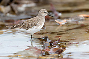 White-rumped Sandpiper (Calidris fuscicollis) from Sea Lion Island, the Falklands in December.
