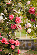 Beautiful deep pink and light pink camellia blooms on evergreen trees with shiny green leaves cultivated in a private greenhouse flowering in spring.