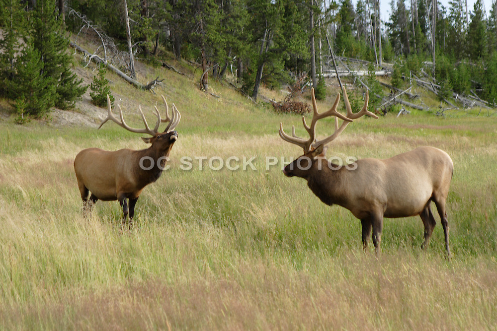 Wild Elk in a Grassy Meadow at Yellowstone national Park