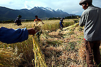 Workers harvest wheat just outside of Lijiang, the capital of Yunnan province in China. (Photo/Scott Dalton)