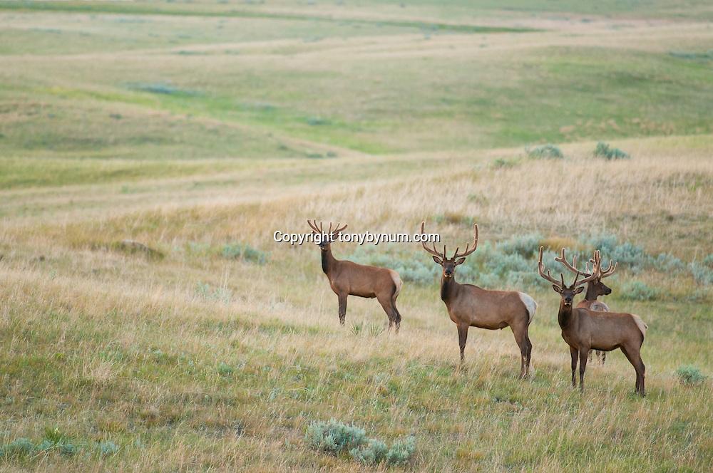 four bull elk in velvet on green prairie eastern montana near malta