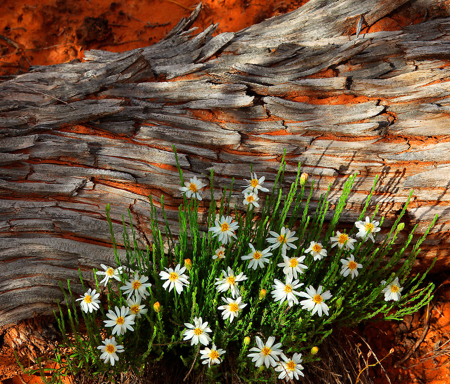While hiking through the Black Ridge Canyons Wilderness Area southwest of Grand Junction, I came across these tiny flowers. Epic beauty on a grand scale was everywhere around me; massive rust-colored pinnacles, natural arches and monumental walls towered overhead like rosy sandstone cathedrals. Yet it was this intimate scene on a much smaller scale that grabbed my attention and demanded to be photographed. The soft daisies offset by the bold texture and pattern of the decaying pinyon log seemed to perfectly signify springtime renewal and the unending cycle of life.