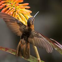 Aglaeactis cupripennis, Ecuador
