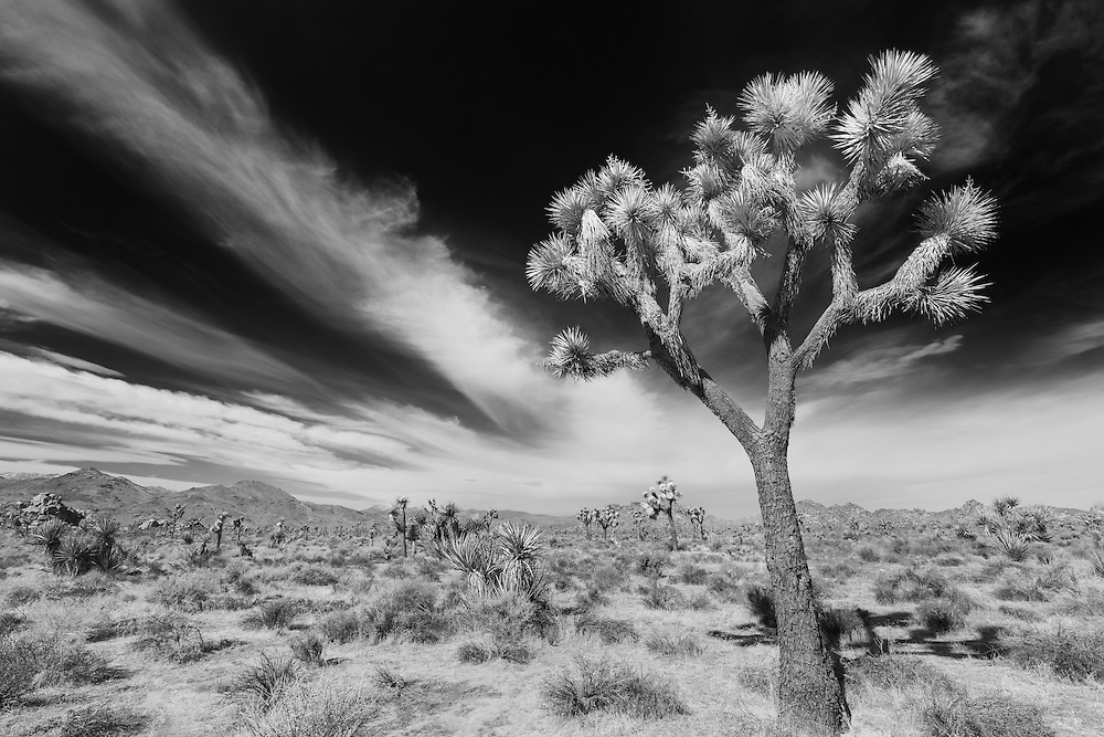 Joshua tree wide sky streaking clouds joshua tree national park ca infrared black