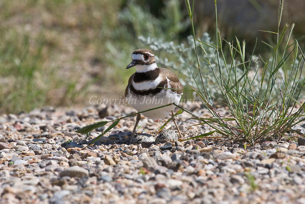 Killdeer on its nest. Madison Valley, Montana.
