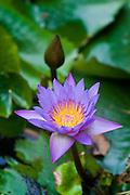 Indian lotus, sacred lotus or just lotus flower. Sri Lanka.