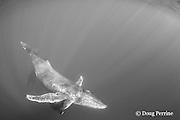 humpback whales, Megaptera novaeangliae, mother with calf snuggling under her pectoral fin, and male escort resting below, Endangered Species, Kona, Hawaii ( Central Pacific Ocean )