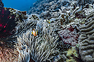 Sea anemone (Actinaria) and clown fish (Amphiprion bicinctus), Nusa Penida island, Bali, Indonesia.