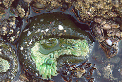 Sea Anemone at Kalaloch Beach 4, Olympic National Park, Washington, US
