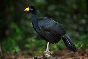 Black Curassow (Crax alector)<br /> Iwokrama Reserve<br /> GUYANA<br /> South America<br /> RANGE: Humid forests in northern South America in Colombia, Venezuela, the Guianas and far northern Brazil