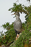 Spotted Shag at Abel Head, Puponga, New Zealand