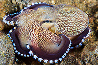 Coconut Octopus on the rocky seafloor<br /> <br /> Shot in Indonesia
