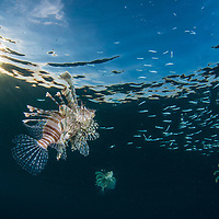 Lionfish, Pterois volitans, Pom Pom Island, Sabah, Borneo, East Malaysia, South East Asia