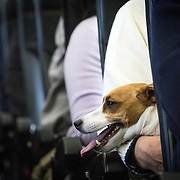 """CHIBA, JAPAN - JANUARY 27 : A dog is seen on the lap of its owner in a plane in Chiba, Japan on January 27, 2017. Japan Airlines """"wan wan jet tour"""" allows owners and their dogs to travel together on a charter flight for a special three-day domestic tour to Kagoshima Prefecture, southwestern Japan. As part of the package tour, the owners and their dogs will also get to stay together in a hotel and go sightseeing in rented cars. (Photo by Richard Atrero de Guzman/ANADOLU Agency)"""