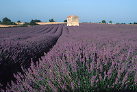 Lavender in Provence, France