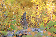 A Ruffed Grouse perches on a downed log in brilliant fall colors
