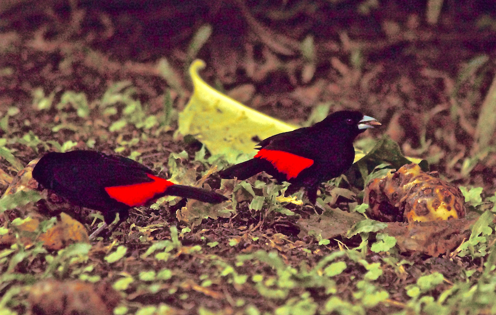 Scarlet-romped Tanager, ramphocelus passerinii, Costa Rica, Arenal Cloud Forest