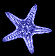 Starfish. X-ray of a starfish (phylum: Echino- dermata)