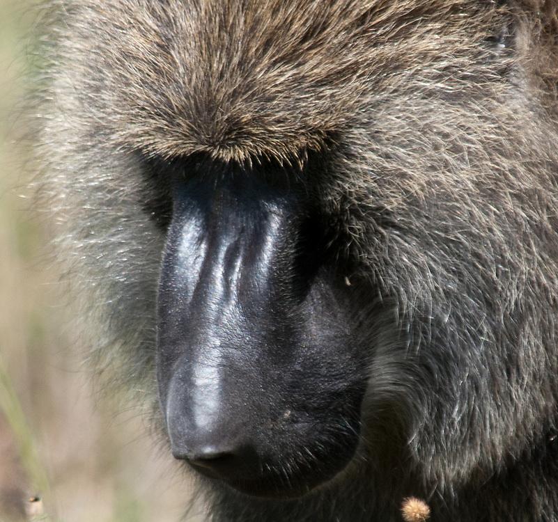 Baboon closeup - Tumbili