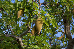 Boab nuts on the tree