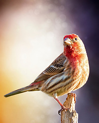 A Male House Finch Stopped By To Sing A Song From A Close Perch.
