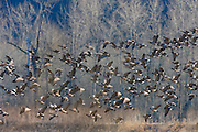 A large flock of Canada geese (Branta canadensis) take off from the Ridgefield National Wildlife Refuge in Washington state.