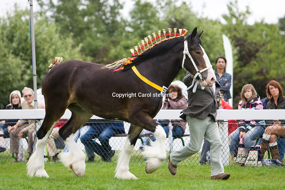 Great Yorkshire Show 2010   Shire Horse Classes