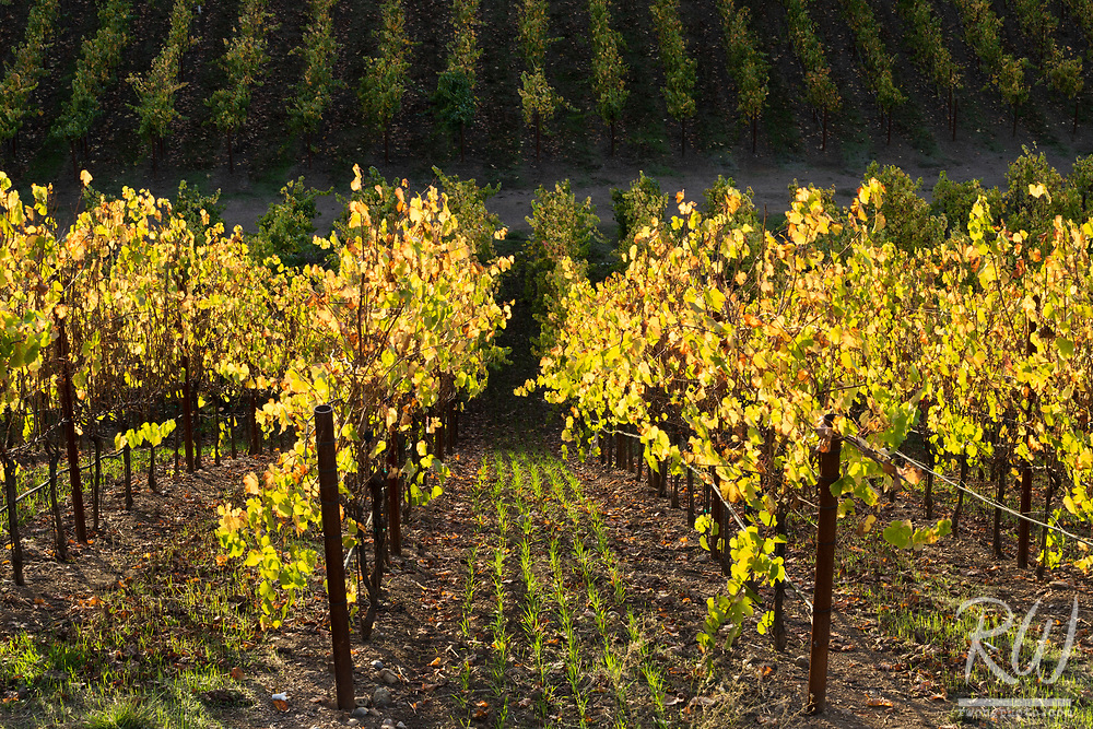 Sonoma County Vineyard Fall Colors, Russian River Valley AVA, California
