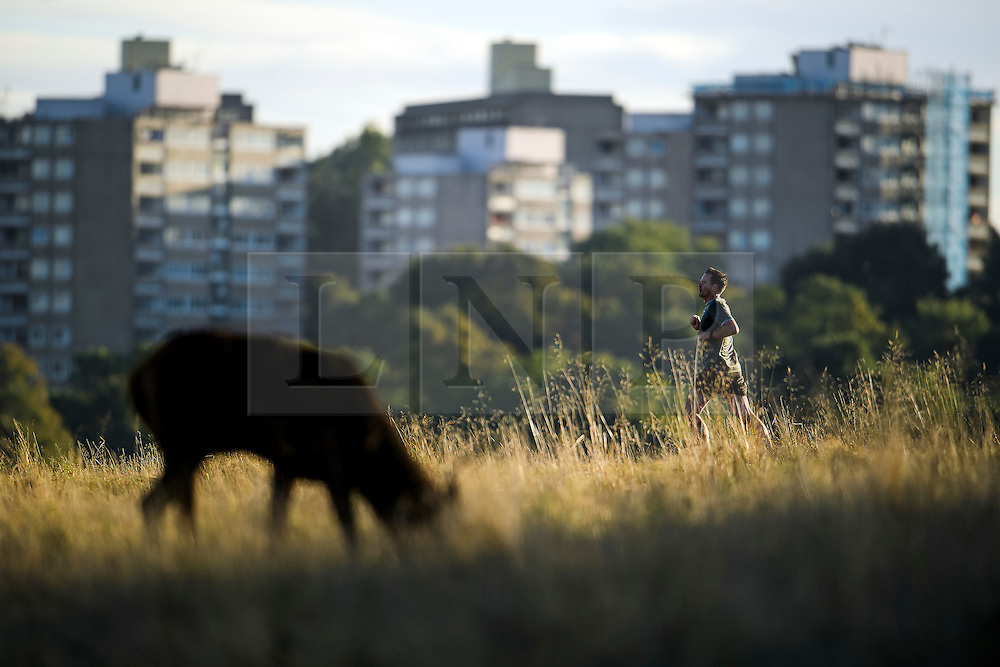 © Licensed to London News Pictures. 09/10/2016. London, UK. A man jogging past deer in a field on a bright autumnal morning in Richmond Park, London. . Photo credit: Ben Cawthra/LNP
