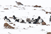 Lesser Scaup, Redheads, Ring-necked Duck, Aythya affinis, americana, fcollaris, eeding on manure,  Brown County, South Dakota